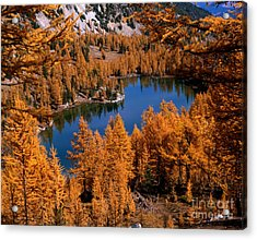 Larch Trees Around Cooney Lake Acrylic Print