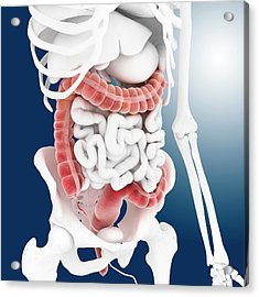 Large Intestine Acrylic Print by Springer Medizin