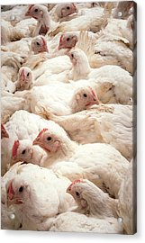 Large Number Of Hens In A Barn Acrylic Print