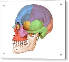 Lateral Skull, Illustration Acrylic Print