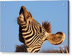 Acrylic Print featuring the photograph Laughing Zebra by Nick  Biemans