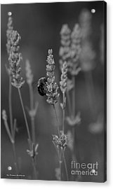 Lavender And The Bee Acrylic Print by Tannis  Baldwin
