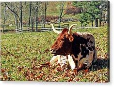 Lazy Morning Bull Acrylic Print
