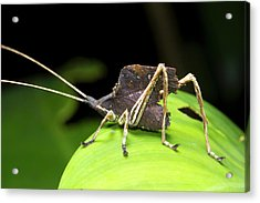 Leaf Mimic Bush-cricket Acrylic Print by Dr Morley Read