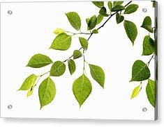 Leaf Series Acrylic Print by Temmuzcan