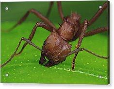 Leafcutter Ant Cutting Papaya Leaf Acrylic Print
