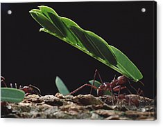 Leafcutter Ants Carrying Leaves Barro Acrylic Print