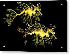 Leafy Sea Dragon Acrylic Print by James Roemmling