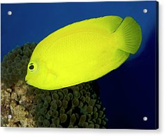 Lemonpeel Angelfish Acrylic Print