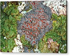 Lichens Acrylic Print by Dr Jeremy Burgess/science Photo Library