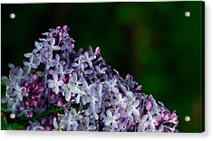 Lilac 4 Acrylic Print