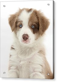 Lilac Border Collie Puppy Acrylic Print