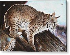 Linns Valley Bobcat Acrylic Print by Ric Ricards