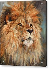 Lion Acrylic Print by David Stribbling