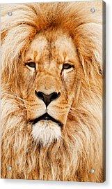 Lion Portrait Acrylic Print by Tilen Hrovatic