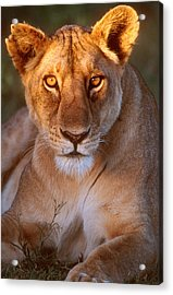 Lioness Tanzania Africa Acrylic Print by Panoramic Images