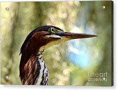 Acrylic Print featuring the photograph Little Green Heron Portrait by Kathy Baccari