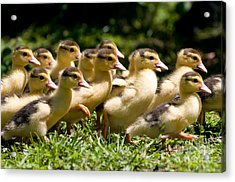 Yellow Muscovy Duck Ducklings Running In Hurry  Acrylic Print by Arletta Cwalina