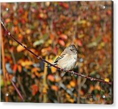 Lone Sparrow Acrylic Print