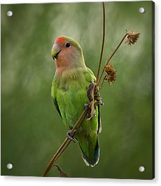 Lovely Little Lovebird  Acrylic Print