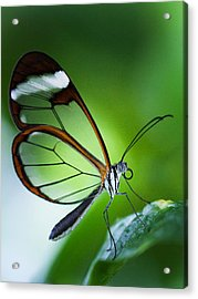 Macro Photograph Of A Glasswinged Butterfly Acrylic Print
