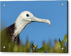 Magnificent Frigate Bird Acrylic Print by Christopher Swann/science Photo Library