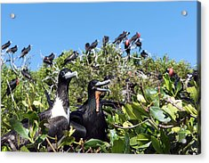 Magnificent Frigatebirds Acrylic Print by Christopher Swann