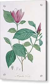Magnolia Discolor, Engraved By Legrand Acrylic Print