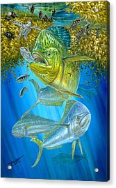 Mahi Mahi Hunting In Sargassum Acrylic Print by Terry  Fox