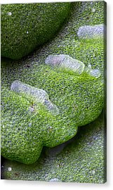 Maidenhair Spleenwort Acrylic Print by Karl Gaff