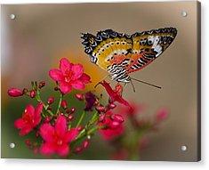 Malay Lacewing Butterfly  Acrylic Print by Saija  Lehtonen