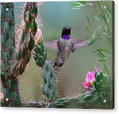 Male Black-chinned Hummingbird Acrylic Print