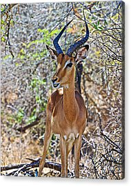 Male Impala In Kruger National Park-south Africa   Acrylic Print by Ruth Hager