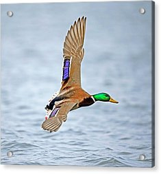 Male Mallard Landing On Water Acrylic Print