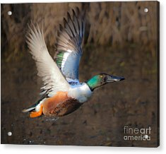 Male Northern Shoveler Acrylic Print