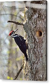 Male Pileated Woodpecker Acrylic Print