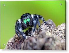 Male Regal Jumping Spider Acrylic Print by Alex Hyde