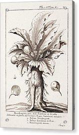 Mandrake Plant Acrylic Print