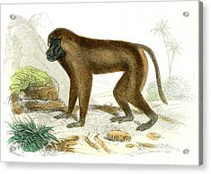 Mandrill Acrylic Print by Collection Abecasis