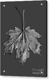 Maple Leaf Acrylic Print by Steven Ralser