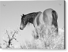 Mare Up High Acrylic Print