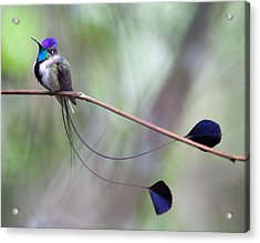 Marvelous Spatuletail Acrylic Print by Max Waugh