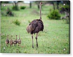 Masai Ostrich Struthio Camelus Acrylic Print