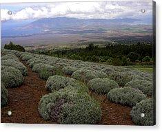 Maui Lavender Farm Acrylic Print