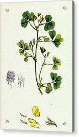 Medicago Maculata Spotted Medick Acrylic Print