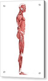 Medical Illustration Of Male Muscular Acrylic Print by Stocktrek Images