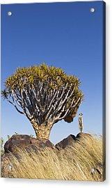 Meerkat In Quiver Tree Grassland Acrylic Print