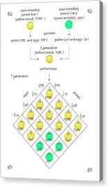 Mendelian Genetics Acrylic Print
