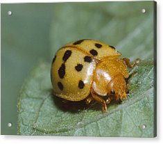 Mexican Bean Beetle Acrylic Print by Harry Rogers