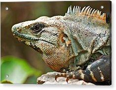 Mexican Iguana Acrylic Print by Paul Pascal